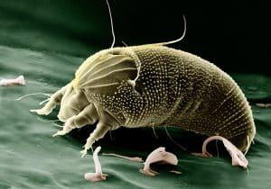 Les acariens sont microscopiques