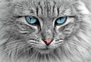 Les poils de chat peuvent provoquer une allergie